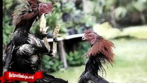 Jurus Bongkar Jurus Dari Ayam Bangkok