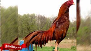 Sehari Sebelum Tanding Ini Rahasia Merawat Ayam