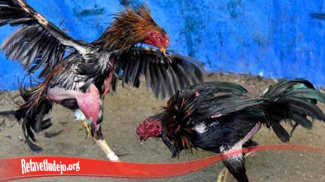 Menambahkan Mental Ayam Jago S128