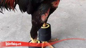 Perkuat Dan Besarkan Otot Kaki Ayam SV388
