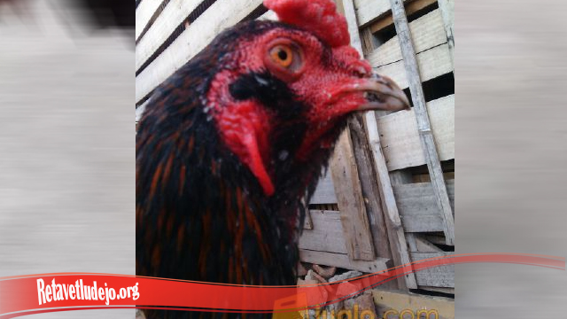 Tampak Galak Ayam Jago Dengan Brewok S128
