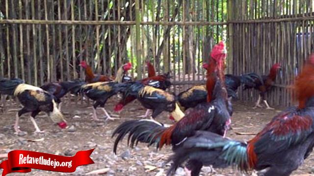 Ternak Ayam Tarung Dengan Mudah