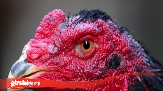 Proses Cepat Penyembuhan Mata Ayam S128